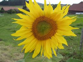 Sonnenblumen als Öllieferanten